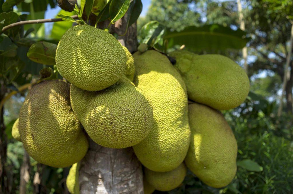 unripe green jacfruit